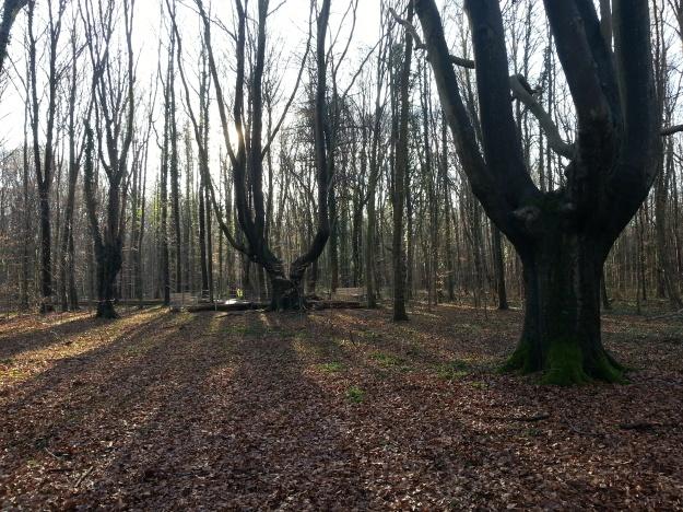 Foto von Kopfbuchen im Stadtwald Bonn auf dem Venusberg
