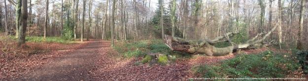 Foto eines Waldweges im Bonner Stadtwald an der Waldau mit einer gefällten Kopfbuche am rechten Wegesrand